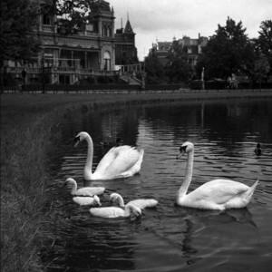 Zwanen in het Vondelpark - Amsterdam