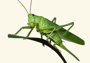 lekkere, eiwitrijke insecten eten, een sprinkhaan bijvoorbeeld
