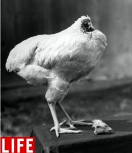 mike-the-headless-chicken