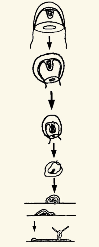 Van kwal weer terug tot poliep. De kwal trekt zijn tentakels in, wordt kleiner, kan op een gegeven moment niet meer zwemmen, verandert in een cyste en uiteindelijk in een poliep.
