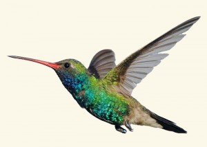 Hummingbird is Engels voor Kolibrie
