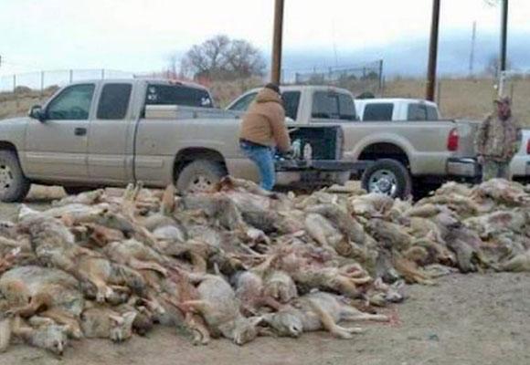 coyote-killing